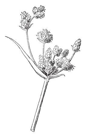 It is a perennial herb, The leaves are mostly basal and have wide sheaths around the stems, vintage line drawing or engraving illustration.