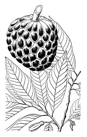 This is a fruit of small well branched tree and also known as sugar apple. Fruit is sweet and pulpy, vintage line drawing or engraving illustration. Ilustração