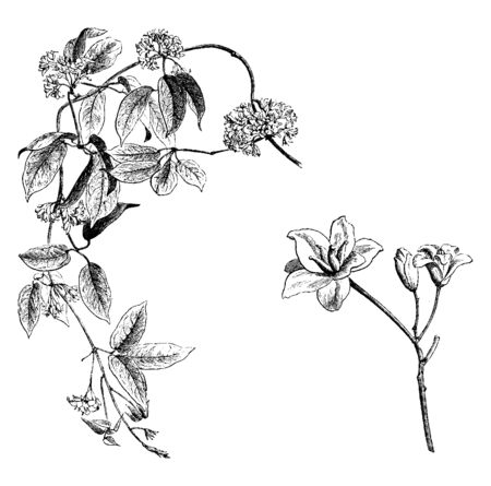 This picture is showing Flowering Branch and Detached Female Flowers of Holboellia Latifolia. It is member of Lardizabalaceae family very fragrant flowers are grows twenty feet tall, vintage line drawing or engraving illustration. Çizim