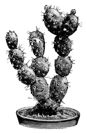 A picture showing the branch of Optunia Boliviana which is a variety of prickly pear. The joints of the plant are about two inches long and are pale green, vintage line drawing or engraving illustration.
