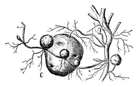 This is the underground structure of the Potato. One of the potato is big has eyes and bud are present. A tuber is thick stem with buds that can grow into new plant, vintage line drawing or engraving illustration.