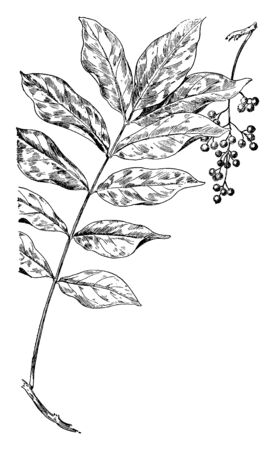 Poison sumac is a deciduous, woody shrub or small tree. It is a genus of Toxicodendron, vintage line drawing or engraving illustration.