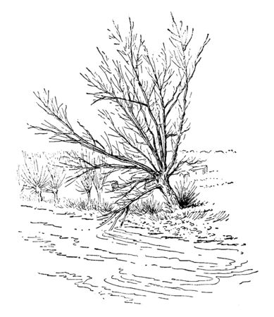 A picture showing a White Willow tree which is a large willow tree of Eurasia and North Africa having greyish Canescent leaves and grey bark, vintage line drawing or engraving illustration.