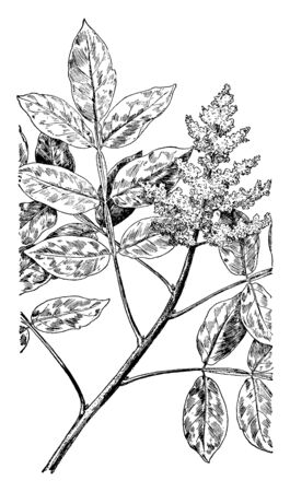 This is an image of Dwarf Sumac which grows as a shrub. The Dwarf Sumac grows on dry hills and rocky ridges, vintage line drawing or engraving illustration.