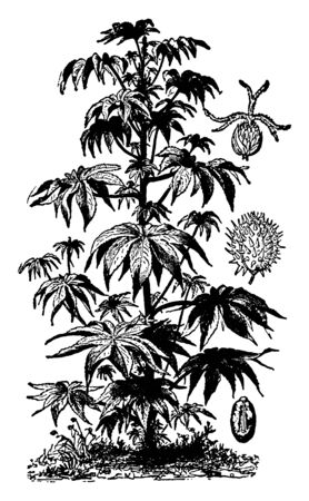 The castor oil plant has large leaves that are 15-45 centimeters long, vintage line drawing or engraving illustration.