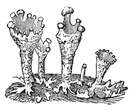 The Cladonia is a genus of moss-like lichens. It is cup-bearing lichens, vintage line drawing or engraving illustration.  イラスト・ベクター素材