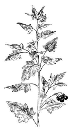 Black nightshade is a plant, is branched and usually erect, growing wild in wastelands and crop fields. Flowers are white with yellow colored center, vintage line drawing or engraving illustration.