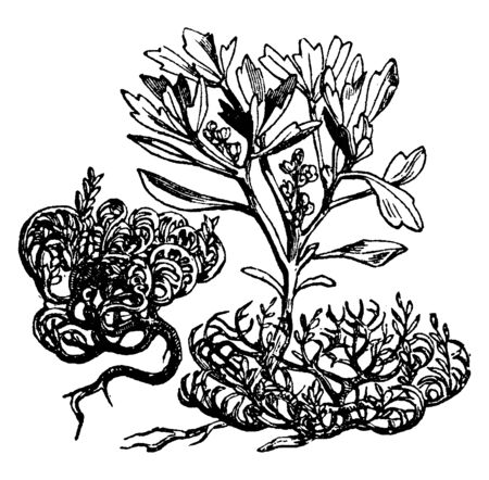 Anastatica hierochuntica or Jericho Rose growing in arid Arabia and Palestine, Actually native to western Asia and is the only species of the genus Anastatica of the mustard family (Brassicaceae), vintage line drawing or engraving illustration.