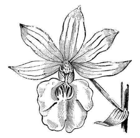 This is a flower of Calanthe Veitchii. It is a rich, bright rose with a white throat, vintage line drawing or engraving illustration. Ilustração