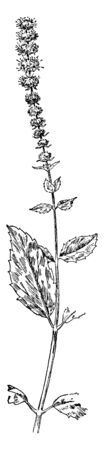 Horse Mint (Mentha longifolia) is a wild mint herb found in Europe, Asia and Africa. It has a strong mint smell and taste, has opposite leaves and yellowish flowers with purple spots, vintage line dra 일러스트