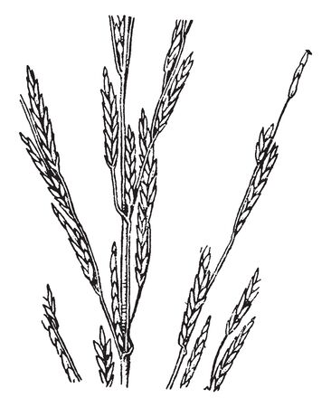 This picture is a wide variety of grass family called Glyceria, vintage line drawing or engraving illustration.