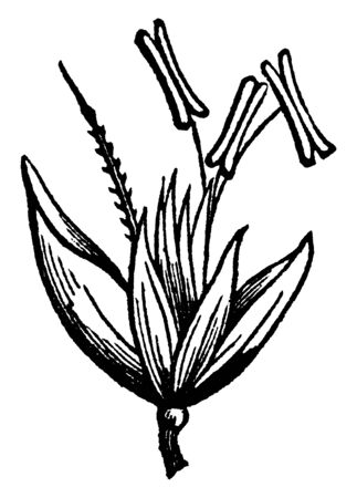 This picture of wood hair grass flower, there are some anther at the top of the bud, and the lower side is stalk, it looks like blossoming, vintage line drawing or engraving illustration.