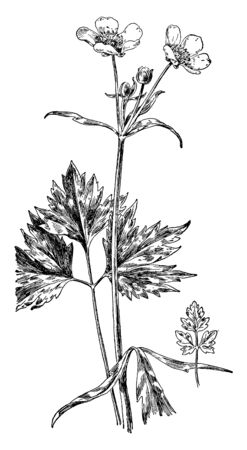This perennial plant is native to Illinois; the Swamp buttercup is about 6 inches tall. Its dark green basal leaves are alternate and pinnately divided into usually three leaflets, vintage line drawing or engraving illustration.
