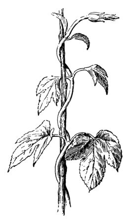 The image shows a Twining stem of hop. The hop is native to temperate regions of the Northern Hemisphere. Hops are the female flowers of the hop species. It is a perennial herbaceous plant, vintage line drawing or engraving illustration. Imagens - 132856270
