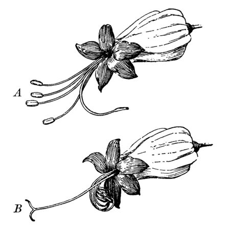 A picture showing reproduction system of Clerodendron flower, vintage line drawing or engraving illustration. Иллюстрация