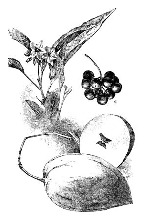 A picture showing a branch of Huckleberry tree with its fruit. The huckleberry is a fruit of the heath family of plants, vintage line drawing or engraving illustration.