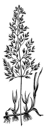 This grass species grow in water, and the seed branches are taller two three feet, leaves grow separately, vintage line drawing or engraving illustration.