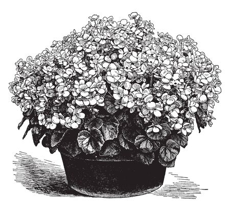 The flowers have grown in dense quantity. The leaves are small and the flowers have four petals. Begonia Gloire de Lorraine it has grown in pots, vintage line drawing or engraving illustration. 일러스트