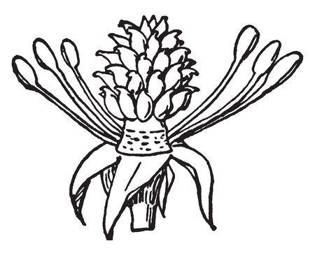 The picture shows typical structure of stamen that is positioned underneath the pistil in a flower. From the receptacle filaments and stamen are come out and stamen has pollen sac and pollen grains, vintage line drawing or engraving illustration. Ilustração