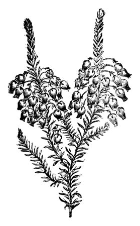 """Winterheiden und Heide sind in erster Linie Halbsträucher es ist ein niedrig wachsender immergrüner Strauch; bis zu 12"""" hoch; doppelt so breit wie hoch. Es nadelartige Blätter etwa 2"""" bis 3"""" lang; Farbe ist hellgrün, Vintage-Linienzeichnung oder Gravurillustration."""