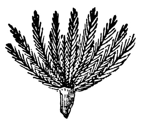 A picture showing a Pappus. Upper sides of seed there are grown Pappus. It is very thin and long it looks like hair, vintage line drawing or engraving illustration. Illusztráció