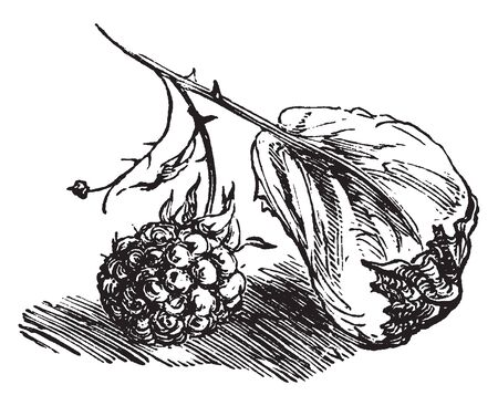 Berry is pulpy, fleshy, juicy fruit. It is rounded, brightly coloured and sweet or sour in taste. It is often edible fruit, vintage line drawing or engraving illustration.