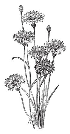 Centaurea Cyanus is known as Blue Bottle and Cornflower. The flowers are blue, purple, pink, or white, vintage line drawing or engraving illustration.