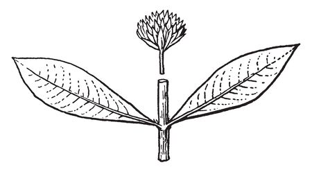 A picture shows Alternanthera Plant. It is genus may be known generally as joyweeds, or Josephs coat. It is a widespread genus with most species, long leaves. Flowers in stalked head-like spikes, vintage line drawing or engraving illustration.