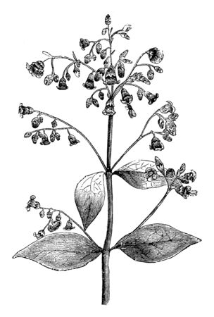A picture shows Inflorescence of Apocynum Androsaemifolium Plant. The flowers of the androsaemifolium variety are pale red with dark stripes. The flowers are bell shaped, vintage line drawing or engra