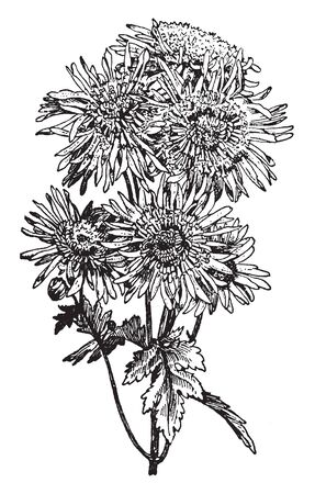 A large genus, Japanese Anemone, of perennial herbs of the buttercup family has divided leaves and showy flowers without petals but with sepals also called windflower, vintage line drawing or engraving illustration.