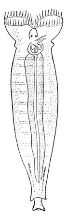 Rotifers make up a phylum of microscopic and near microscopic pseudocoelomate animals, vintage line drawing or engraving illustration.