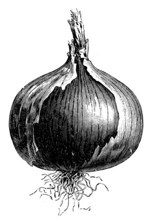 This is a onion. It is type of vegetables. The shape was round it grows underground. The leaves are growing upper side. Roots are very small and thin, vintage line drawing or engraving illustration. 向量圖像