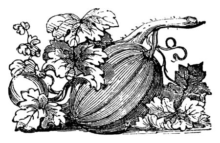A branch of pumpkin along with leaves. It is big, thick, watermelon-shaped and deep yellow-orange colour. Insides this white seeds are present and its leaf are flat & long. This is derive from flower, vintage line drawing or engraving illustration.