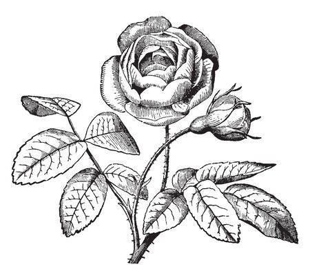 A picture is showing Flos Plenus. This is a double flower whose stamens, pistils or both are converted into petals, vintage line drawing or engraving illustration.