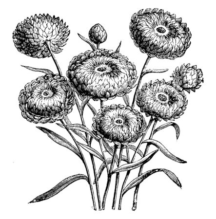 A picture is showing Flower Heads of Everlastings (Helichrysum Bracteatum Compositum). It is native to North Africa. It is an attractive and flower heads come in various colors, vintage line drawing o