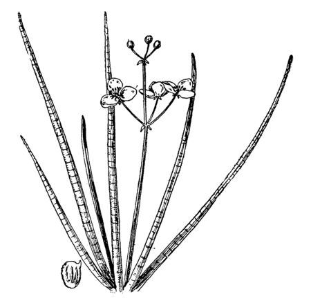 A picture shows Slender Arrowhead Plant. It is a perennial herb tall, with straight long leaves and white flowers, buds. Tube like leaves are divided by fine horizontal lines, vintage line drawing or engraving illustration.