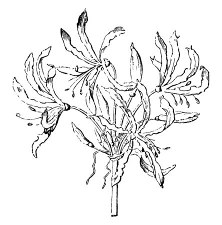It is an evergreen flower and produces very dainty and soft pink like flowers displays when mass-planted. It is almost 1m high and its petals are tending to roll inwards, vintage line drawing or engra