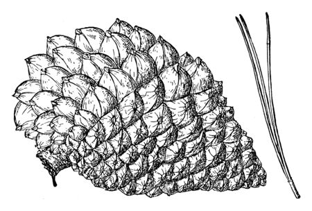 Pinus radiata is also known as pine cone of the Monterey Pine tree, vintage line drawing or engraving illustration.