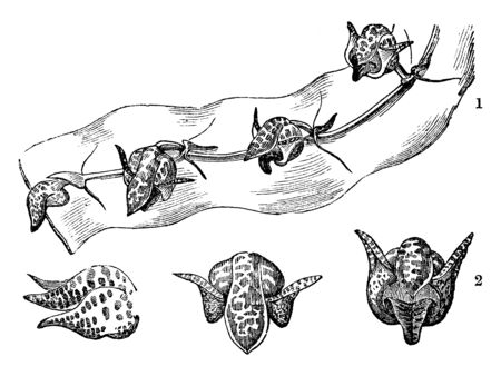 As shown in the picture, many flowers of Bulbophyllum bufo are engaged on twigs and it is in different stages, vintage line drawing or engraving illustration.