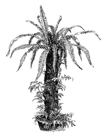 Tree ferns that are dead can be used for decoration, vintage line drawing or engraving illustration.