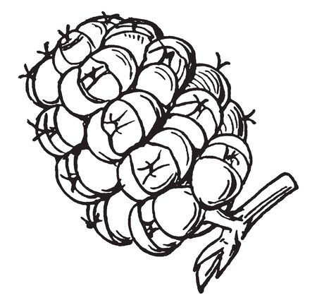 This picture is a Sorosis(mulberry). This is types of fruit. It is a group of circular parts; it has grown on one single piece. This fruit is sweet, juicy, vintage line drawing or engraving illustration.