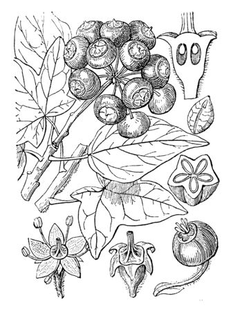It is widely cultivated ornamental climbing plant or shrub chiefly of the ginseng family with evergreen leaves, small yellowish flowers, and black berries, vintage line drawing or engraving illustration.