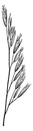 These grains have grown on one side of the stem; they are available in small size, vintage line drawing or engraving illustration. Ilustração