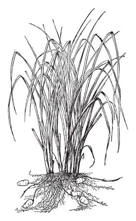 Chufa plant looks grass like. It is a food tuber of cyperus esculentus. It can be eaten raw or baked, vintage line drawing or engraving illustration. Illustration