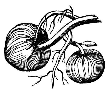 This is type of a root. It is a thick and fleshy root, this root is rounded shape, vintage line drawing or engraving illustration.