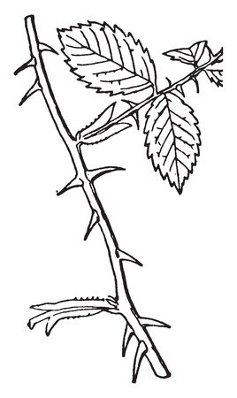 A picture showing a branch of rose plant. The branch is covered with leaves and thorns, vintage line drawing or engraving illustration.