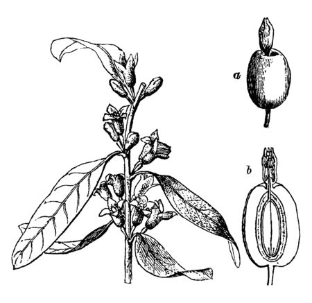 Oleaster, signifying a plant like an olive, but less valuable (cf. poetaster), may be applied to: Feral olive trees that have been allowed to run wild, vintage line drawing or engraving illustration.