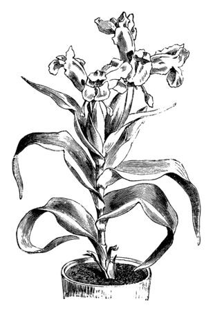 A picture showing the Iris plant planted in a pot, vintage line drawing or engraving illustration. 向量圖像