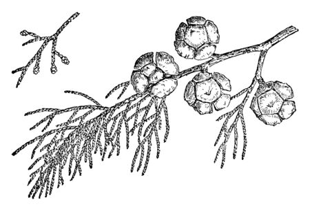 Monterey cypress thrives near the sea on the west coast. Also known as Cupressus Macrocarpa. A species of cypress that is endemic to the Central Coast of California, vintage line drawing or engraving illustration.