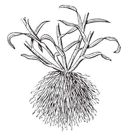 A picture of Fibrous root. These roots develop from adventitious roots arising from the plants stem and usually do not penetrate the soil very deeply, vintage line drawing or engraving illustration.